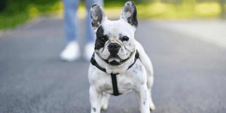 Bulldog Francés Miami